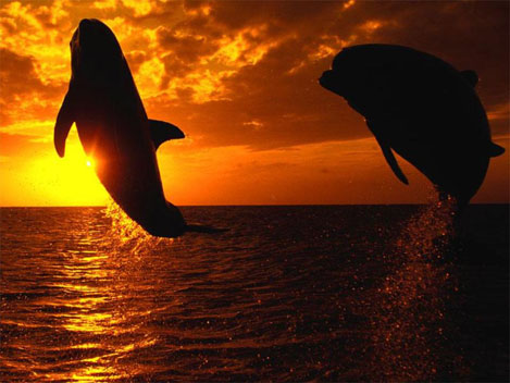 Dolphins at Sunset