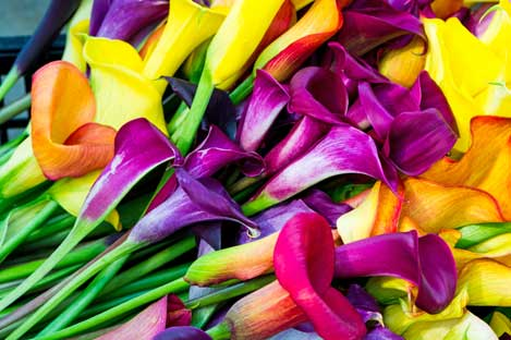 Calla Lilies of all colors